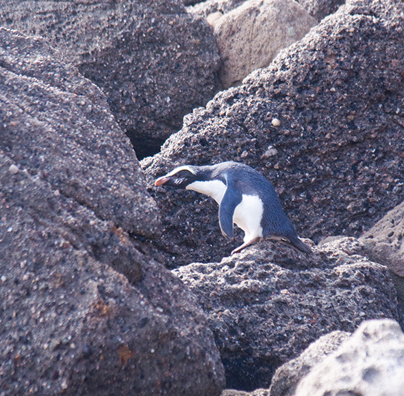 Fiordland penguin negotiating the rocky shore of Jackson
