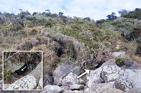 Kiekie patch atop the rocky beach; if only all penguin nests were as accessible as the one indicated by an arrow.