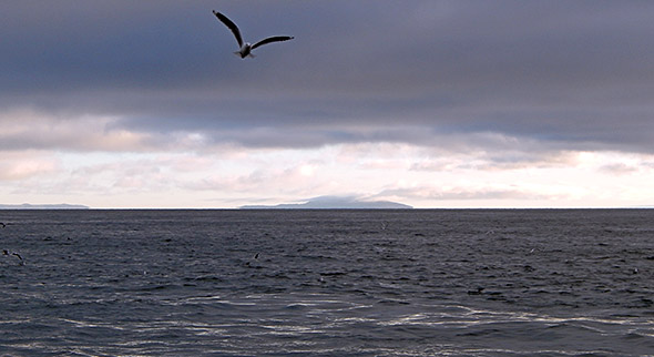 Early morning feeding flock of red-billed gulls, white-fronted terns and tawaki at Gull Rock