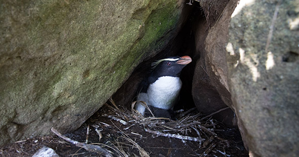 It does not take much to imagine what an earthquake might do to this tawaki nest