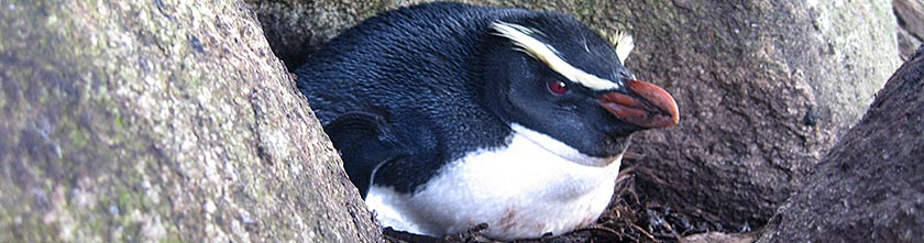 A tawaki incubating its clutch