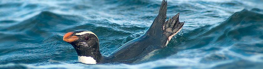 A Fiordland penguin or tawaki foraging off the coast of Stewart Island