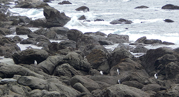 Tawaki on the rocks, just not the one we're waiting for