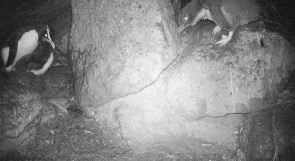 Our female logger tawaki feeding her chick at 2.50am