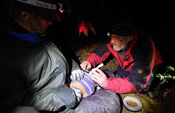 Klemens deploying the last logger of the night on a female tawaki