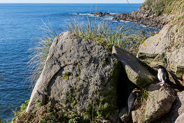 Two adults in front of their nest at Jackson Head. Will these rocks stay where they are in a quake?